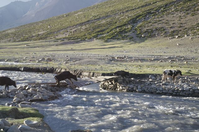 Poor cow/yak trying to cross the broken bridge