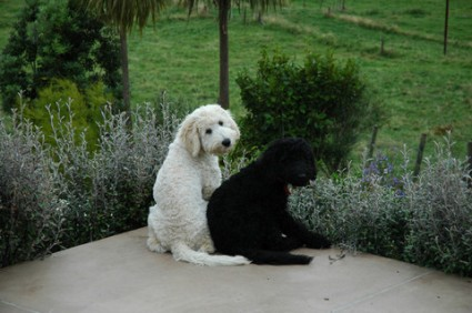 Alison's two labradoodles - Molly & Biscuit